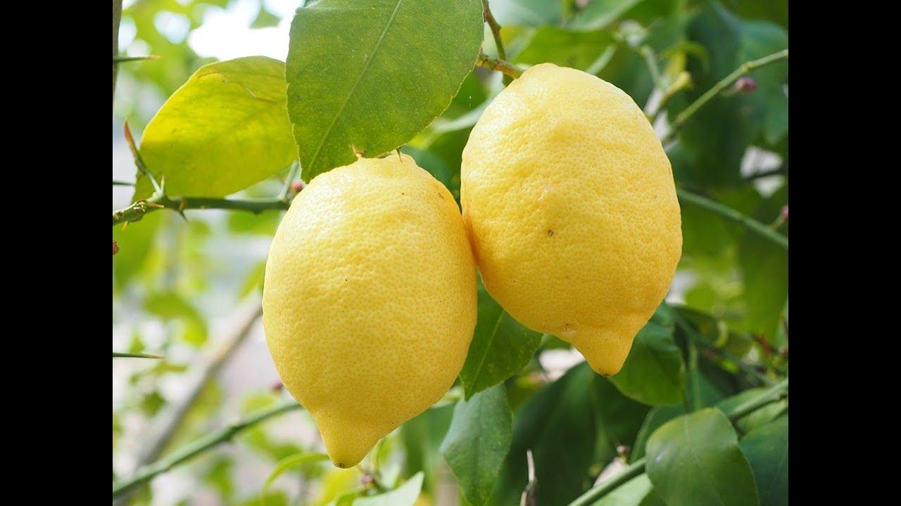 Perchè La Pianta Di Limoni Non Fa Frutti Youtube