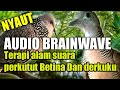 Audio Brainwave Macet Bunyi Perkutut Betina Memanggil Pejantan Saling Sahut Dengan Derkuku  Mp3 - Mp4 Download