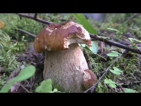Вопрос: Какие сейчас грибы в Подмосковье (июль, август 2020), есть ли грибы?