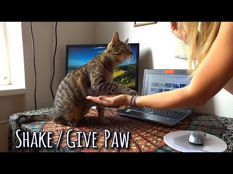CAT TRICK: cat gives / shakes paw