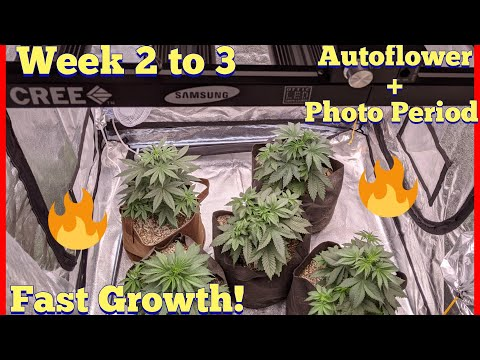 MY FAVORITE GROWING TECHNIQUE –  TIPS AND TRICKS AUTOFLOWER + PHOTO PERIOD CANNABIS WEEK 2 TO 3