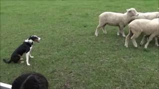 マザー牧場の人気ツアー・マザーファームツアーで見た牧羊犬(ニュージ...