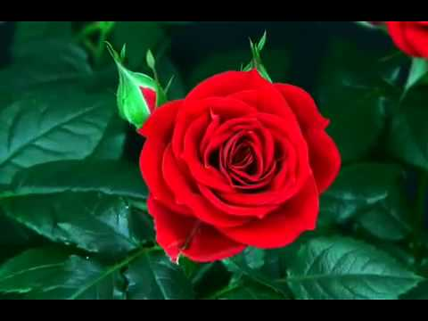 bunga sedang mekarFLV  YouTube