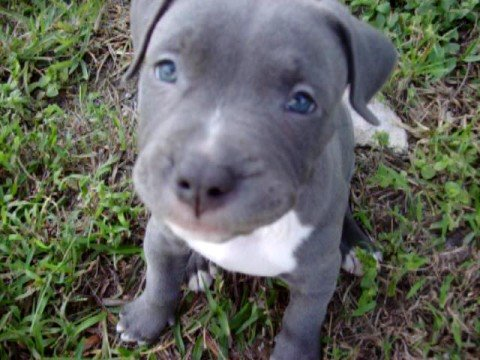 blue pitbull puppies/ in july 27th of 2012 will have puppies in tn...email me