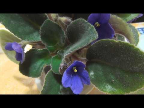 Домашние растения Комнатные цветы ФИАЛКИ Фото и названия  Часть 2