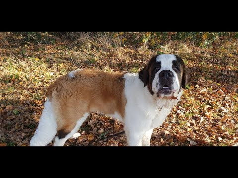 Benson - 7 Month Old St Bernard Puppy - 4 Weeks Residential Dog Training
