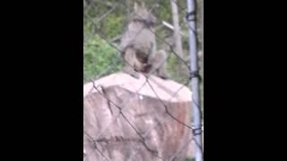 Monkey exhibitionist