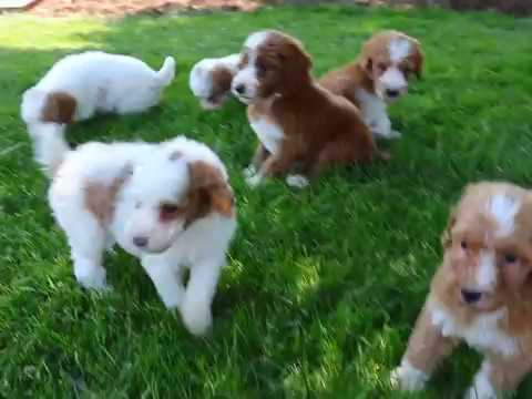 Standard Poodle Puppies for Sale!!!