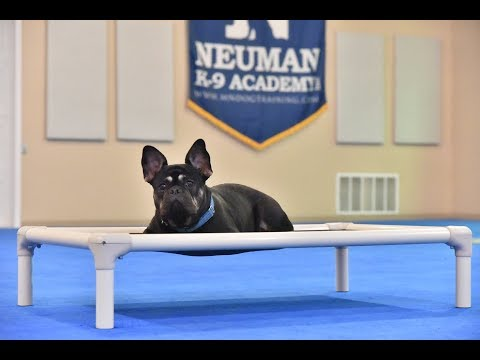 Ozzy (French Bulldog) Boot Camp Dog Training Video Demonstration