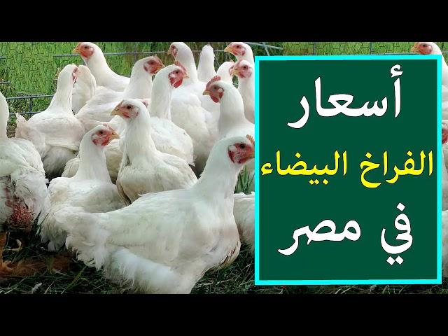 اسعار الفراخ البيضاء اليوم الخميس 14-2-2019 في بورصة الدواجن في مصر