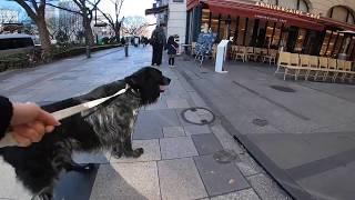 大型犬、ラージミュンスターレンダーのボン爺ちゃんと東京をお散歩した...