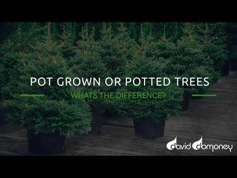 Pot Grown Or Potted Trees Christmas Trees