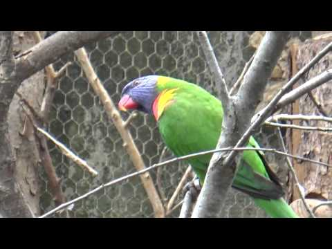 Rainbow Lorikeet (Trichoglossus moluccanus) Prague Zoo לורי קשת