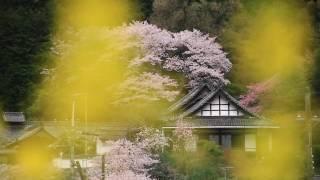 聖林寺の桜