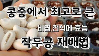 콩중에 최고로 큰 작두콩 재배법 작두콩 모종키우기 작두…