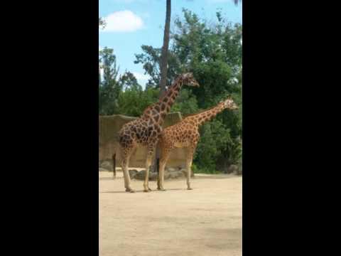 giraffe having sex at Melbourne Zoo