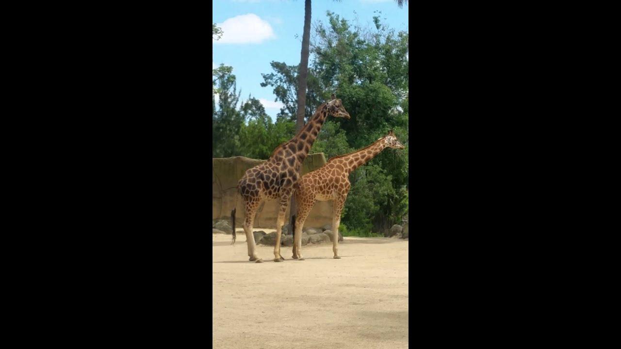 How do giraffes have sex