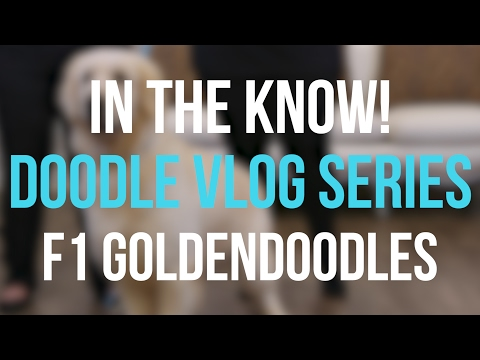 In the Know - F1 Goldendoodles!