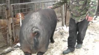 Carna dolj - Cel mai mare porc din Romania 550 kg si 2,10 l ( Emil )