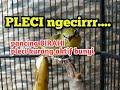 Pleci Ngecir Birahi Buat Pancingan Pleci Malas Bunyj  Mp3 - Mp4 Download