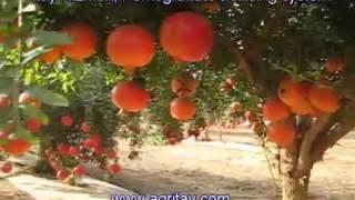 Pomegranate trellising system