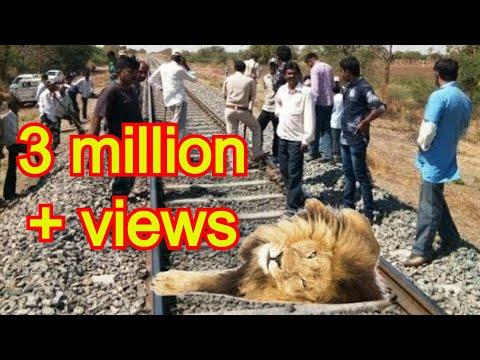 ट्रेन एक्सीडेंट से घायल युवा शेर को कैसे बचाया How a injured lion from a train accident is rescued