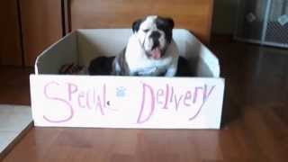 Our English Bulldog Tebow Gets Stuck In The Whelping Box!