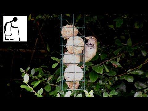 House Sparrow in my garden - Passer domesticus
