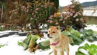 山陰柴犬の子犬モモは雪が大好きで元気に畑を走り回ります。