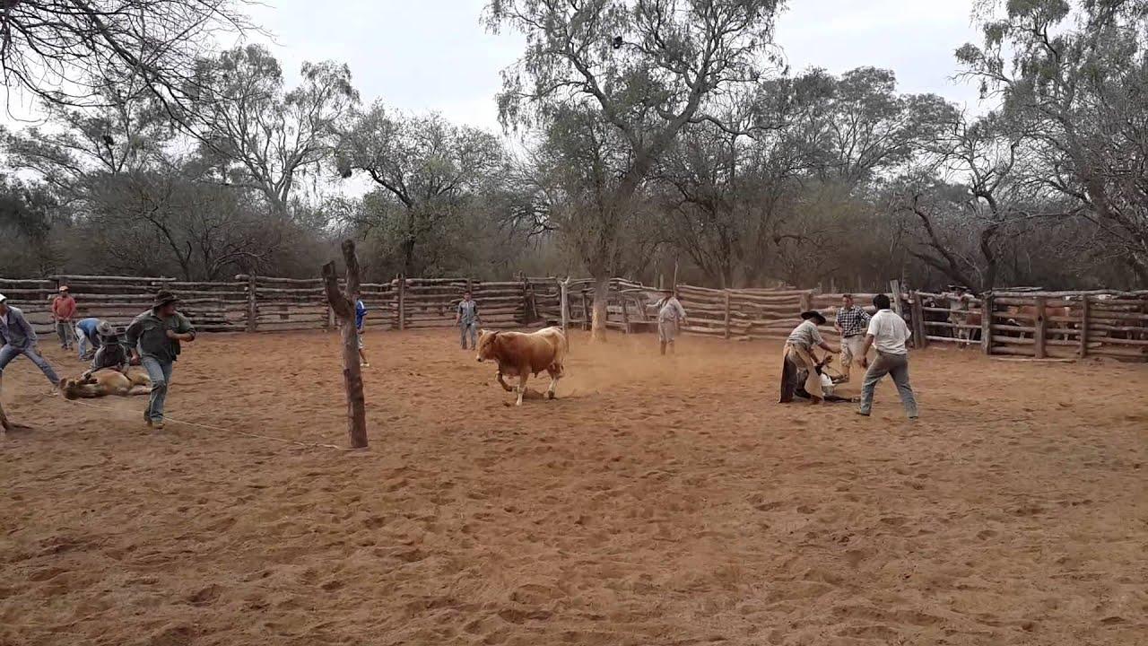 Pialada de vacas los jardines carlo paez youtube for Vacas decorativas para jardin