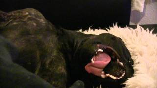Staffordshire Bull Terrier Attacking Foot