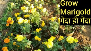 How to grow n care marigold( in hindi)