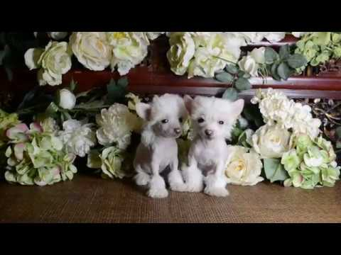 MythicKingdom Chinese Cresteds Prince Parker and Prince Paulo at 7 5 weeks look like idential twin p