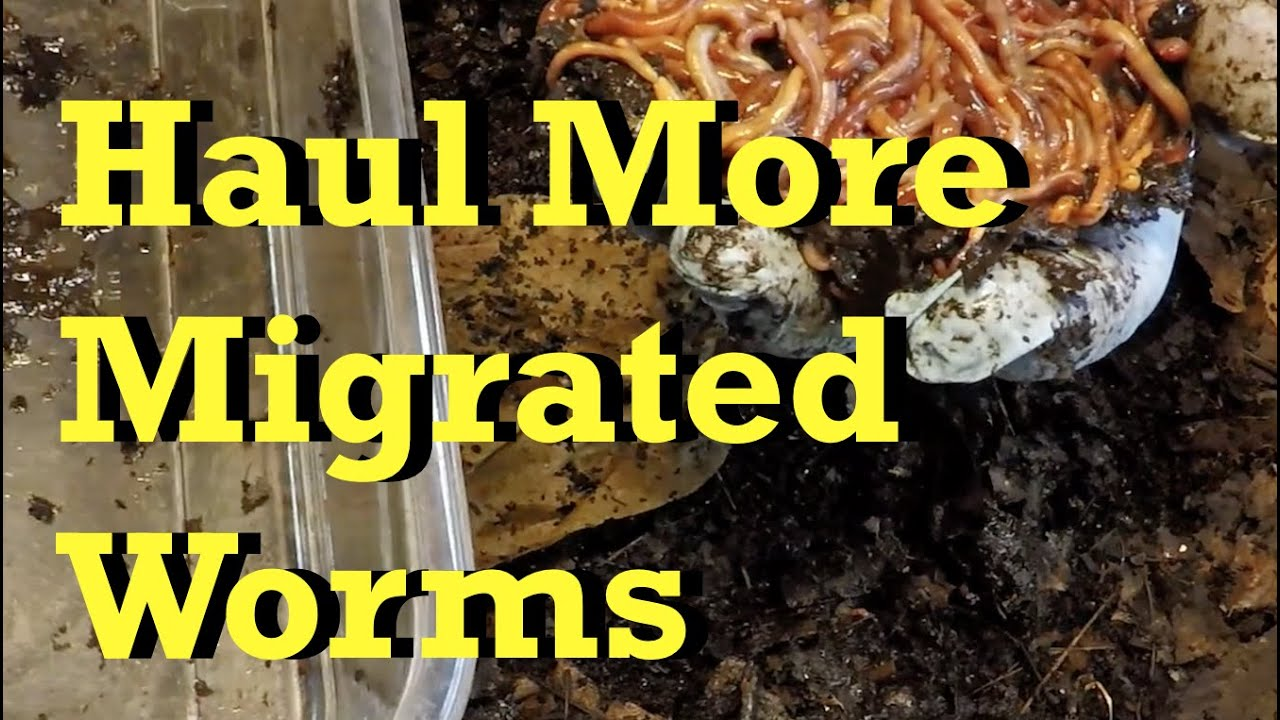 2nd haul of migrated worms from 147-day (21-week) old bin - vermicomposting