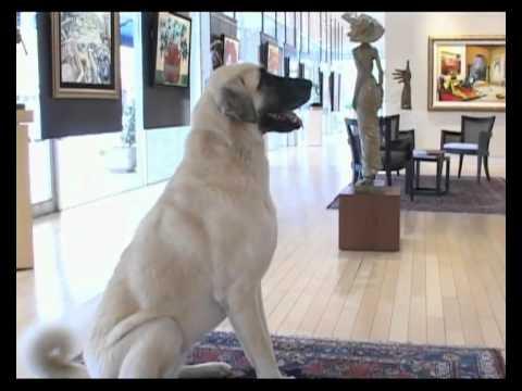 Anatolian Sheperd Dog - Aladia