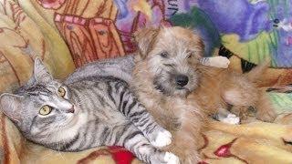 Wheaten Terrier Puppy Cassidy