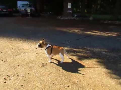 Zsa Zsa- French Bulldog Puppies ~ Oregon French Bulldog Breeders