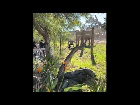 Man-child-charged-by-elephant-at-San-Diego-Zoo