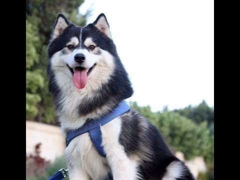 Oscar l The Funniest and Cutest Husky Dog in egypt  l HD