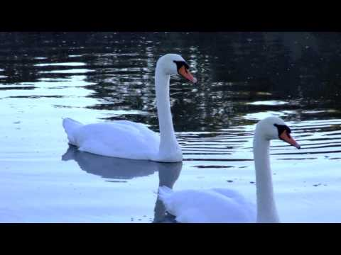 Wild Swans at Coole