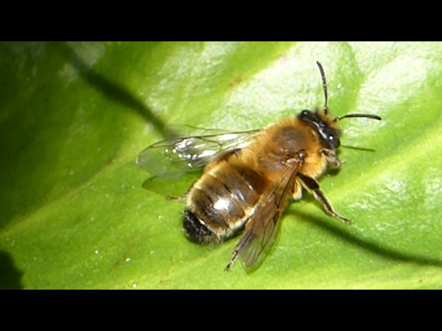 Honey bee - Apis mellifera - Býfluga - Flugur - Skordýr