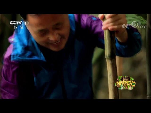 [正大综艺·动物来啦]大猩猩怎么吃甘蔗?| CCTV