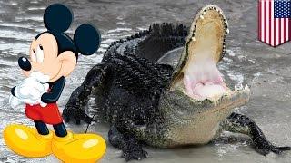 디즈니, 악어에 대한 경고를 충분히 했는가?