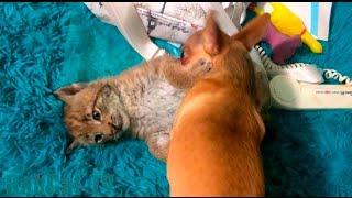 Dog playing with Siberian lynx kitten