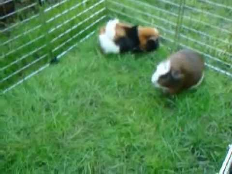 Guinea pigs enjoying the gre..