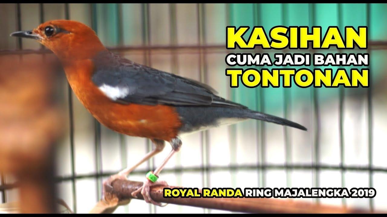 Randa Royal Anis Merah Trotol 2019 Juara Valentine Cuma Jadi Tontonan Di Kagum Cup 2020 Youtube