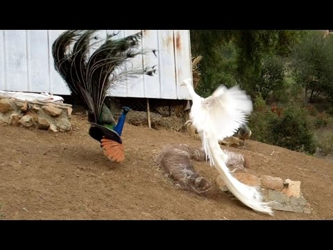 Leucistic VS Wild Type Indian Peacock Joust