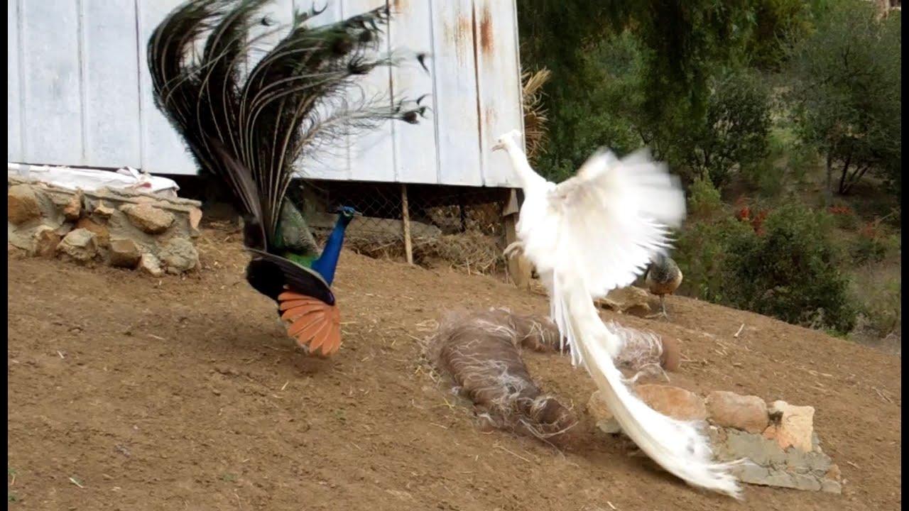 white peacock flying