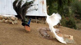 Leucistic VS Wild Type Indian Peacock Joust