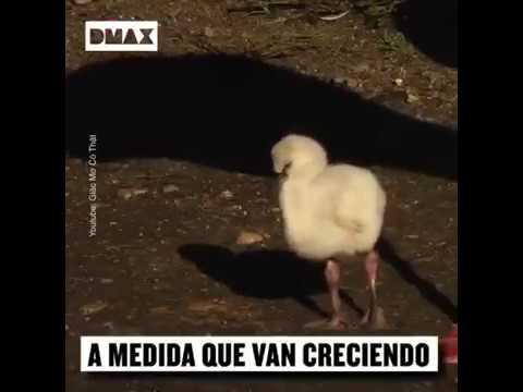La razón del por qué las crías de flamenco son blancos